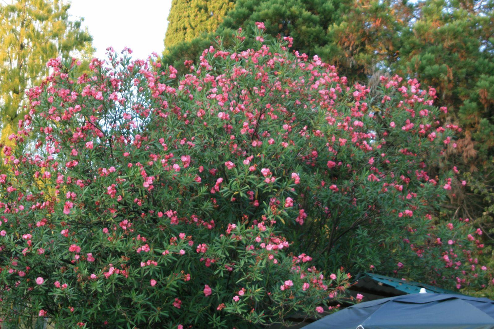 Цветы олеандр садовый фото